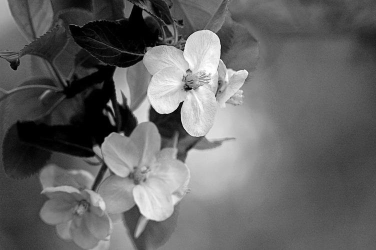Apfelblueten.jpg
